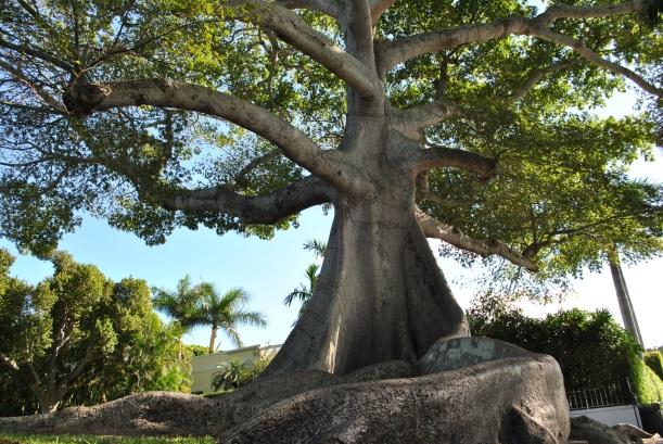 Kapok Tree Palm Beach (2)
